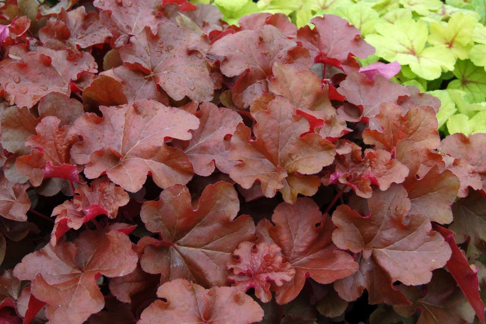 Heuchera 'Mahogany'  Sold Out