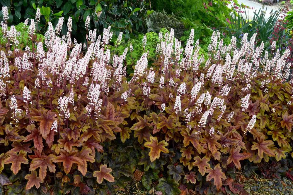 Heucherella 'Brass Lanterns'  Sold out
