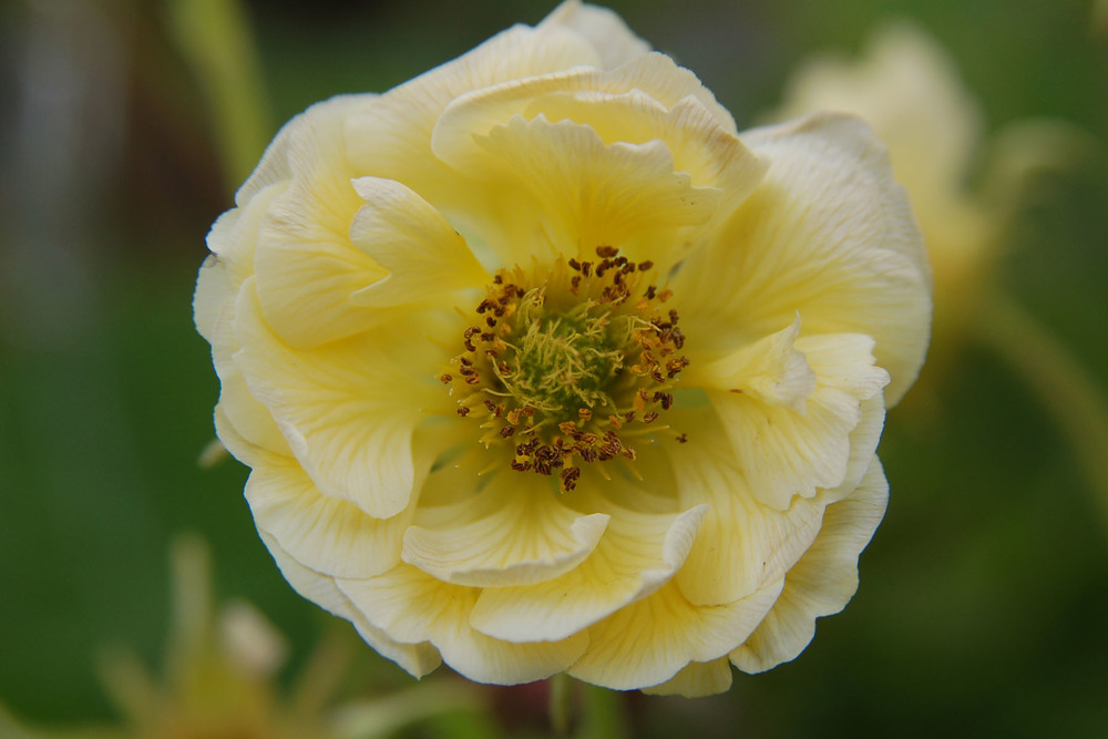 Geum 'Gimlet'  Sold Out - Available Summer