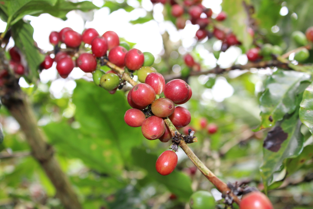 Kao Jai Coffee is a single-origin 100% Arabica Coffee from the mountains of Northern Thailand.