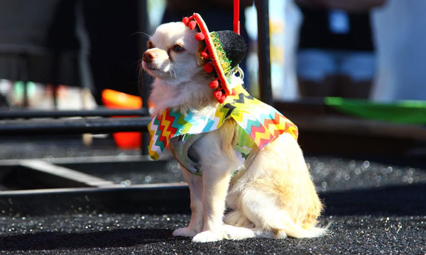 Enter your pup into the AZ Taco Fest's Chihuahua beauty pageant. Photo: aztacofestival.com