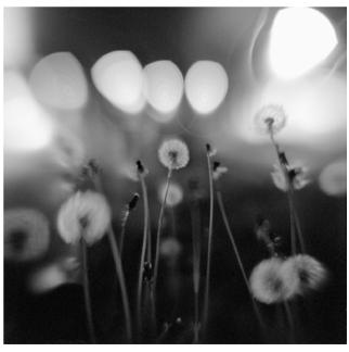 Dandelions at Dark, Miller Place, NY - Platinum Print