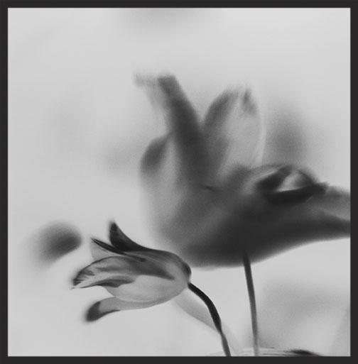Tulips (Negative)