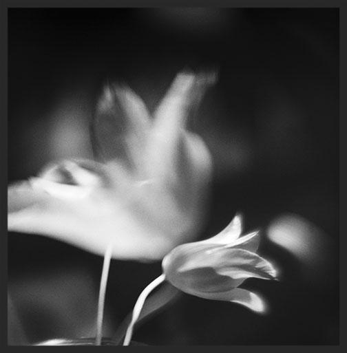 Tulips (Platinum Print)