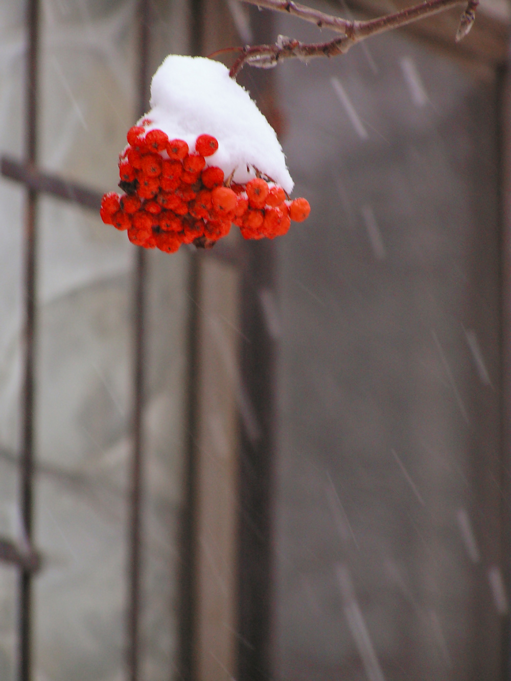 winter ashberry snow