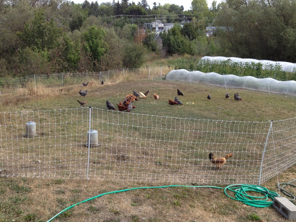 We use two 164 foots lengths of portable electro-netting to protect birds from dogs, raccoons, and other predators in town.