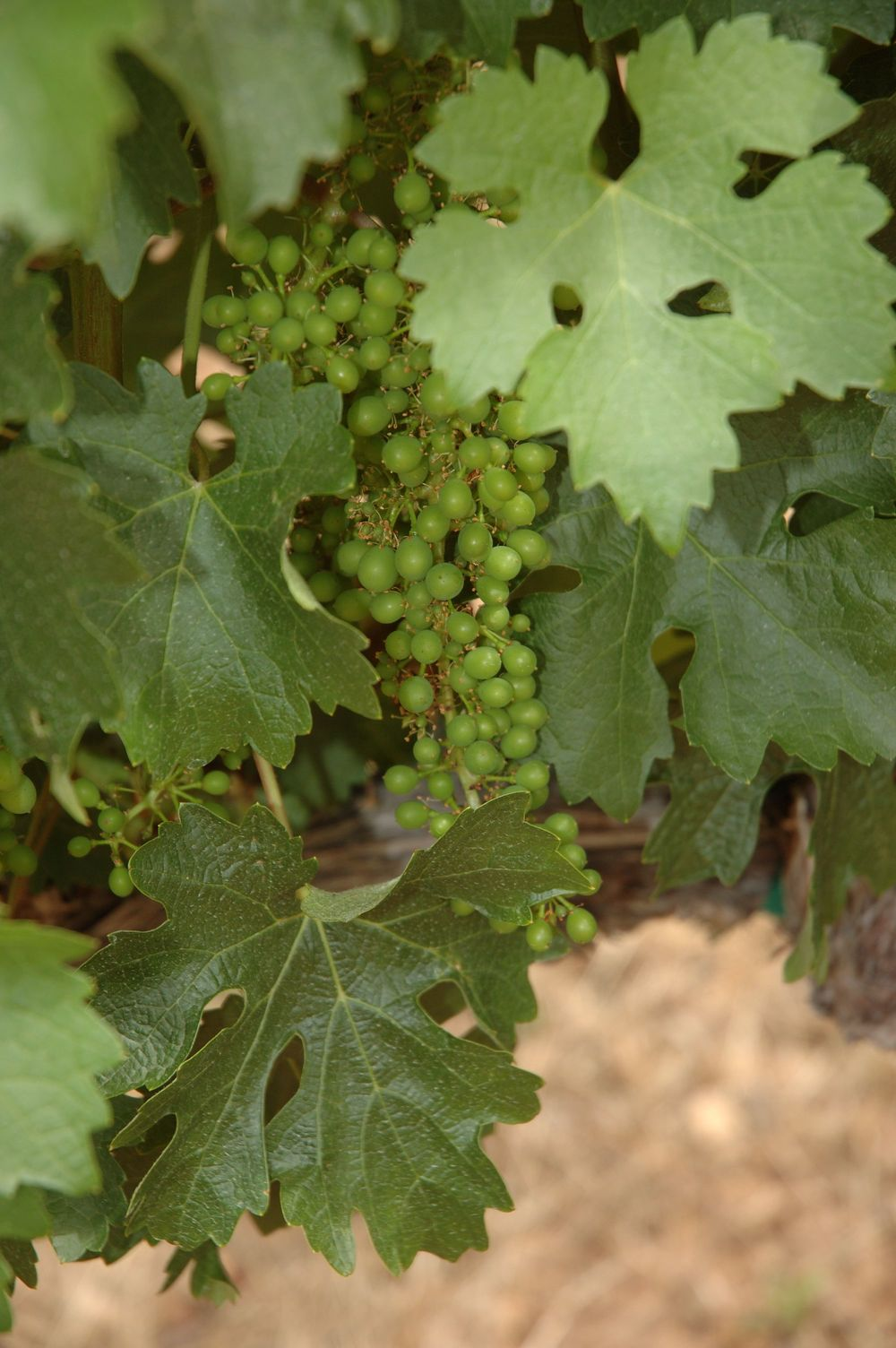 Early Grape Growth
