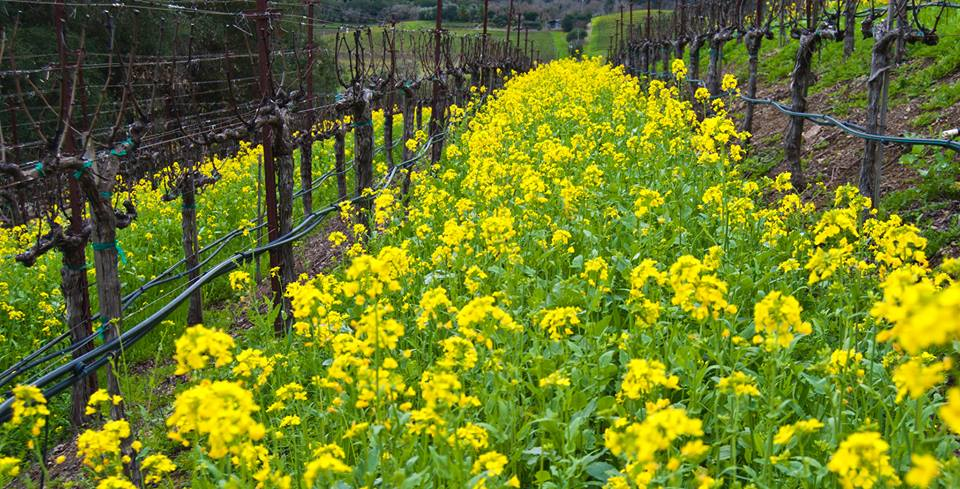 Mustard in the Rows Spring 2016