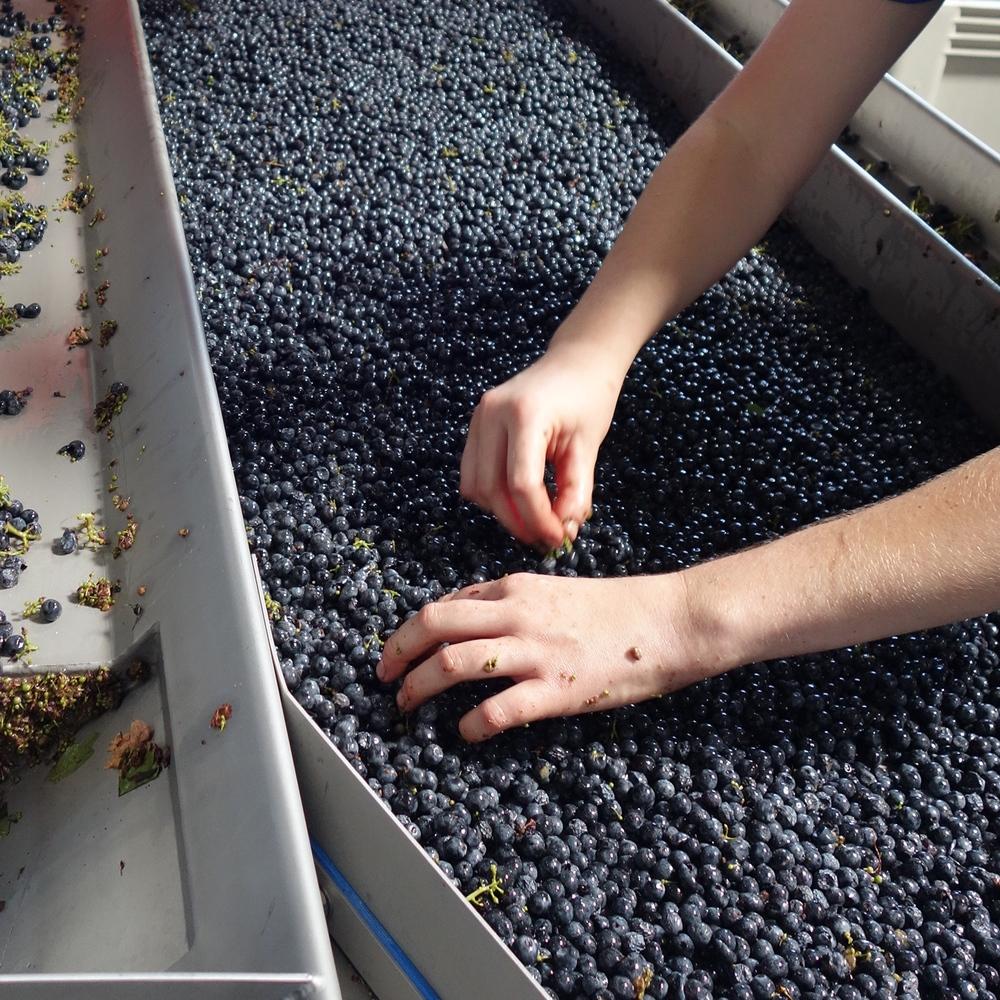 2015 Harvest--Hand Sorting
