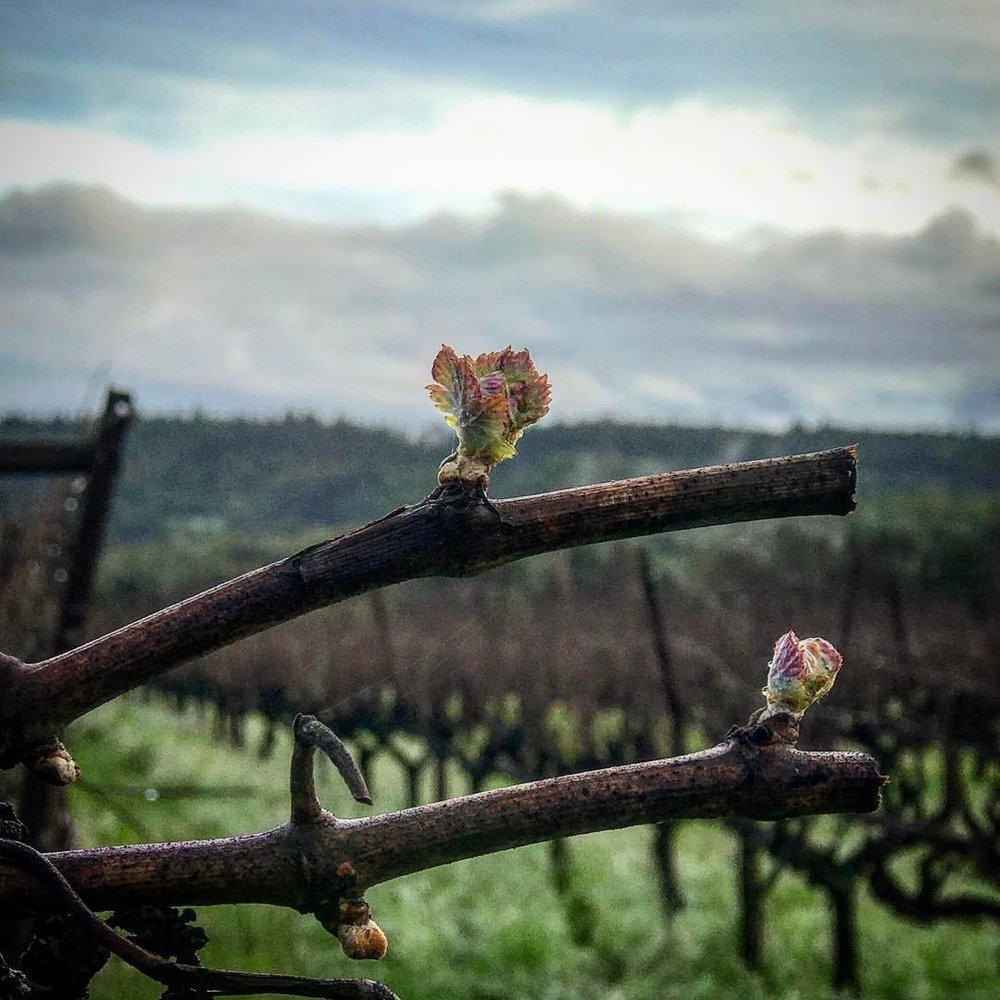 Bud Break 2017
