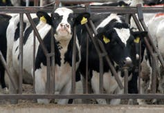 Dairy cows are seen in 2003 at the Sunny Dene Ranch in Washington state where authorities had to determine which animals came from Canada amid its mad-cow crisis. Hundreds of the cows were later killed.  (AP Photo/E.B. McGovern)