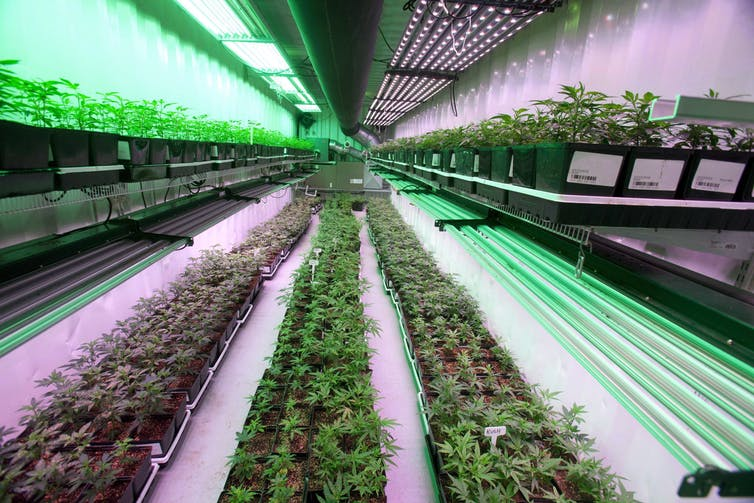 Cannabis plants intended for the medical marijuana market are shown at OrganiGram in Moncton, N.B., in 2016. Proponents of legalization say it will create new industries and jobs. THE CANADIAN PRESS/Ron Ward