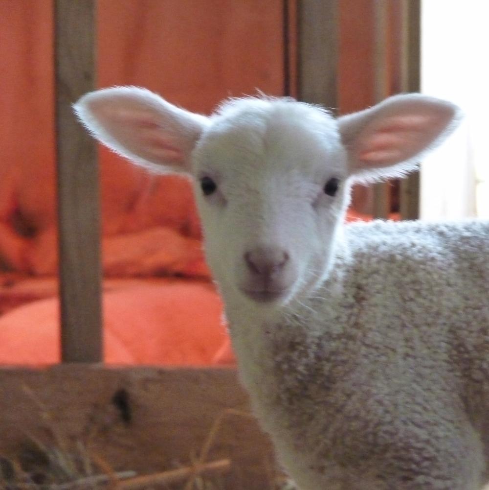 Milkhouse Lamb.JPG