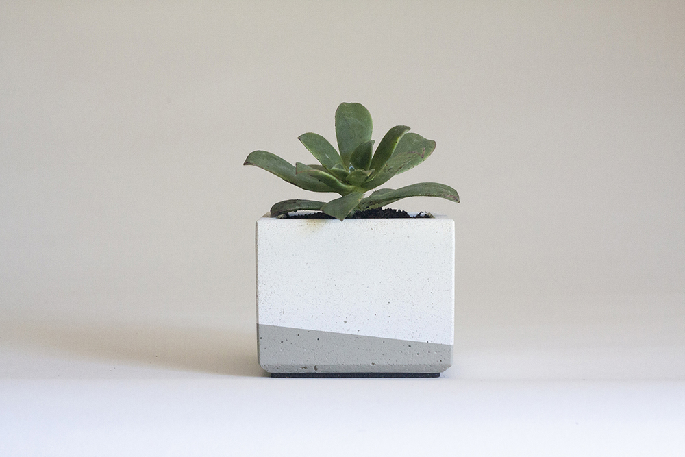 Aeonium kiwi   in our Small Concrete Planter, White and Grey