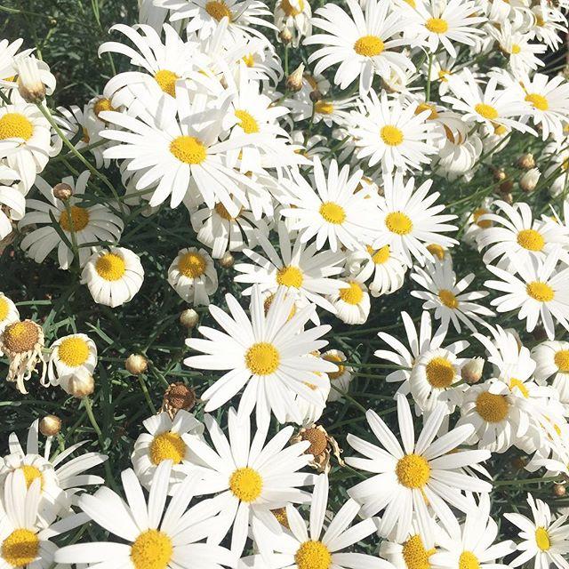Satur-daisy 🌿#petal