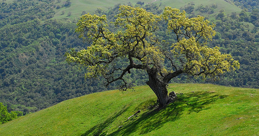 c. old oak tree