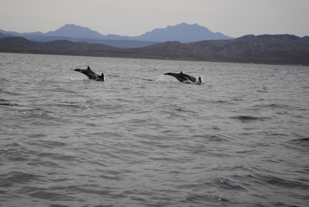 Dolphins chasing sardines among breaching whales and sea lions!