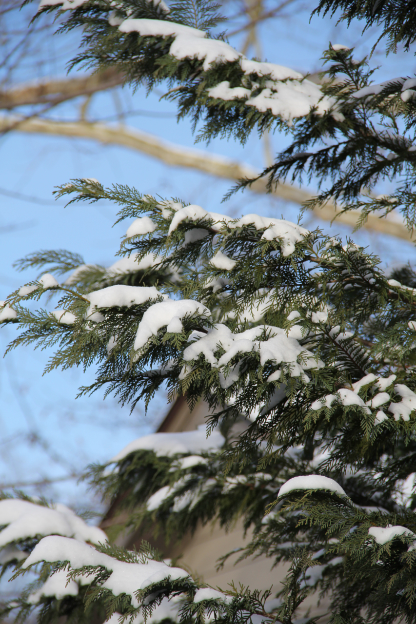 Snow dotting a leyland cyprus