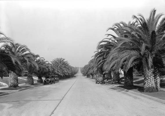 YOUNG CANARY ISLAND DATE PALM TREES WERE USED TO LINE THE STREETS OF OXFORD SQUARE, circa 1931.