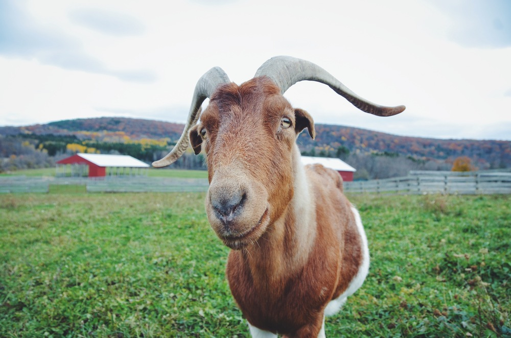 racecar the goat at farm sanctuary, watkins glen | more on hotforfoodblog.com