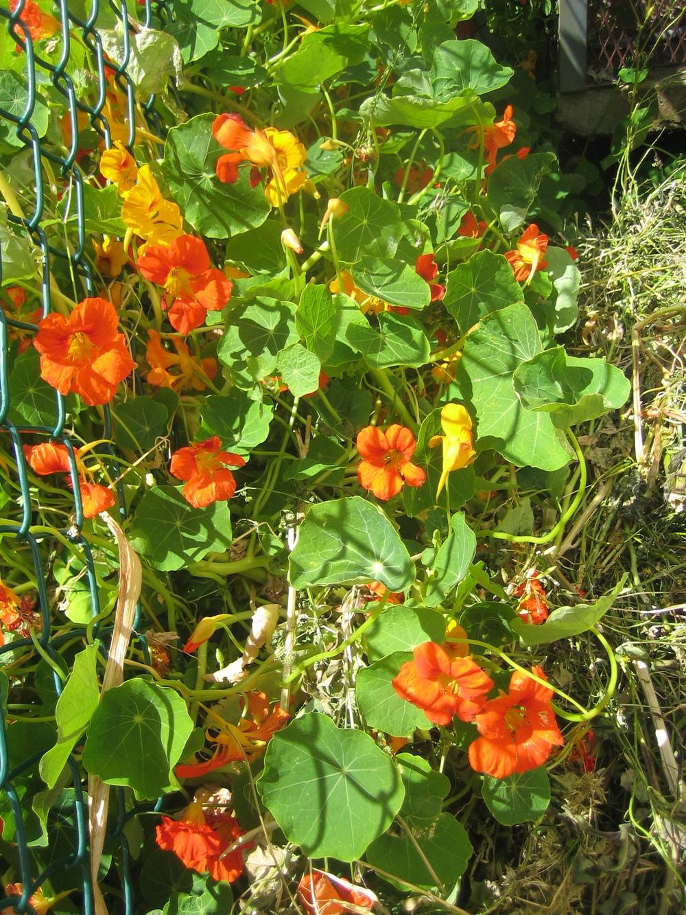 Spicy Nasturtium Flowers