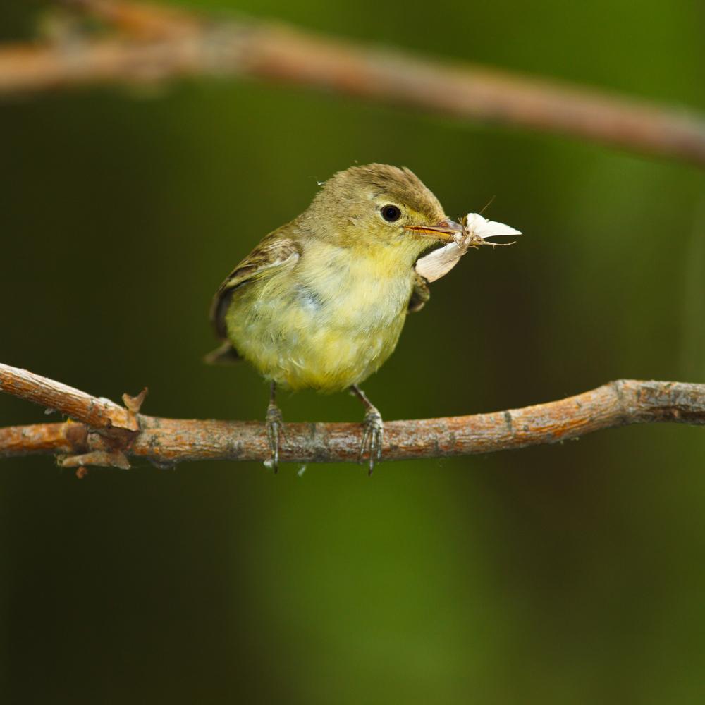 The Icterine Warbler