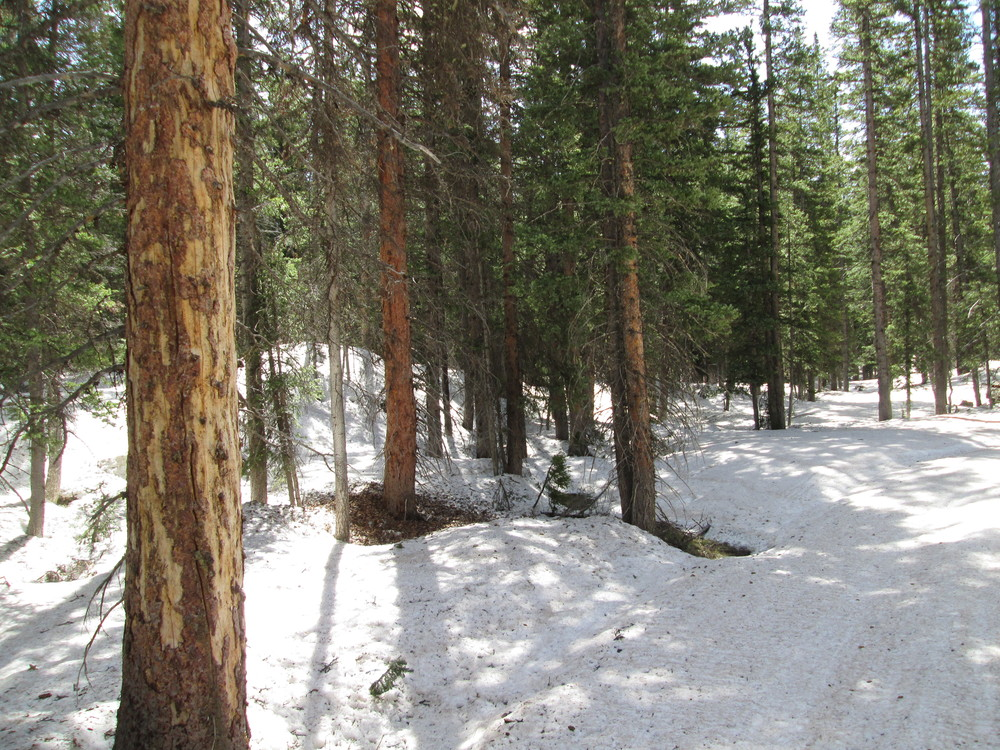 Considerable snowpack remained in the dark timber at the Skyway Nordic Ski Trail system, on the approach to the Grand Mesa CODOS site.  Spruce beetles are actively attacking this forest, as seen in the two trees on the left of the image.