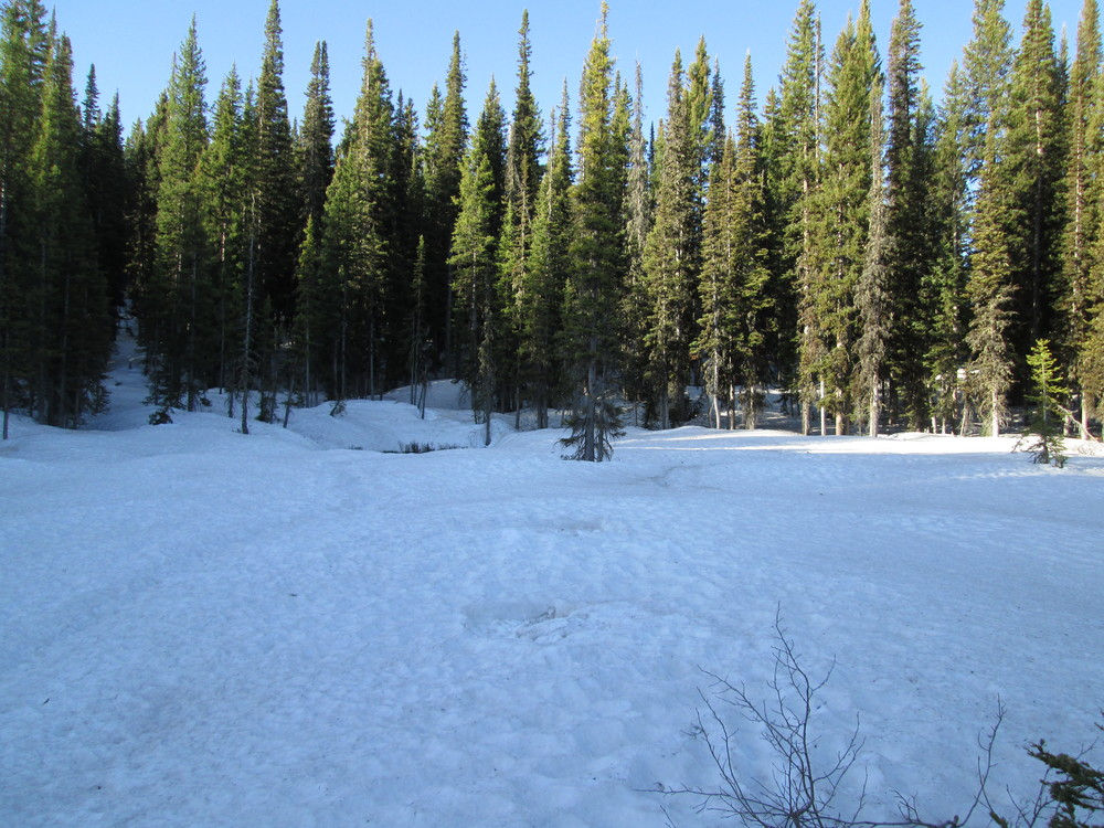 The CODOS Rabbit Ears CODOS snow pit site is located in a large wet meadow surrounded by heavy and comparatively healthy forest.  Evidence of our two prior snowpits is seen in the foreground, at 7:30 AM on June 4.