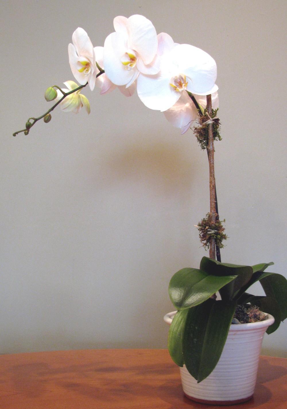Phalanopsis Orchid.jpg