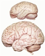 Image of Brains