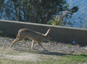 Image of Rabbit at Shoreline Park