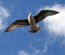 s_seagull.jpg