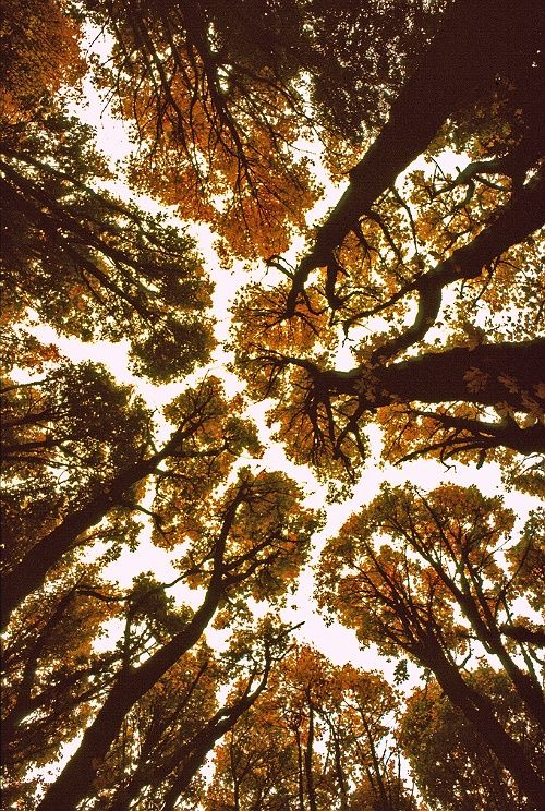 autumn trees from below | via: bekuh b.