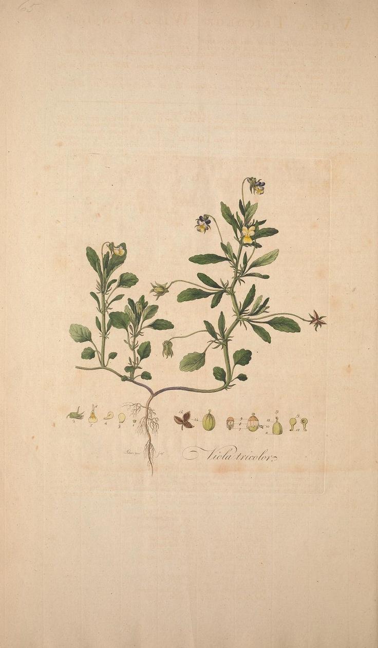 botanical drawing | via: bekuh b.