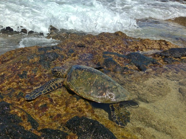 turtles in hawaii island
