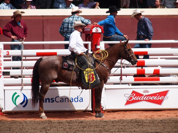 calgary stampede cowyboy on horse