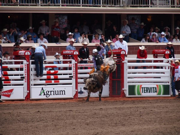 bull riding calgary stampede 1