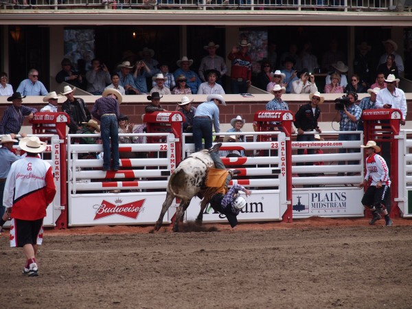bull riding calgary stampede 2