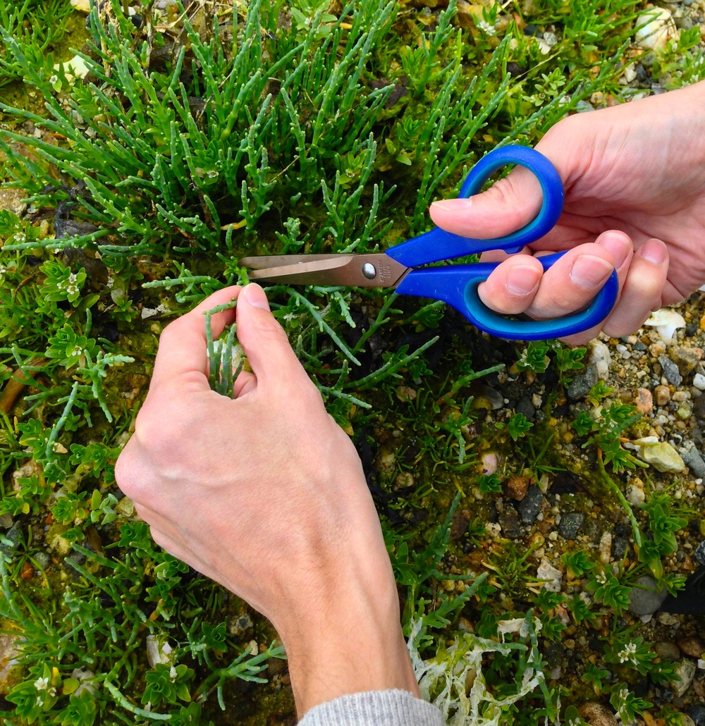 Cutting sea asparagus with kitchen scissors {PS. They're uber-crunchy and taste like a young, briney asparagus}