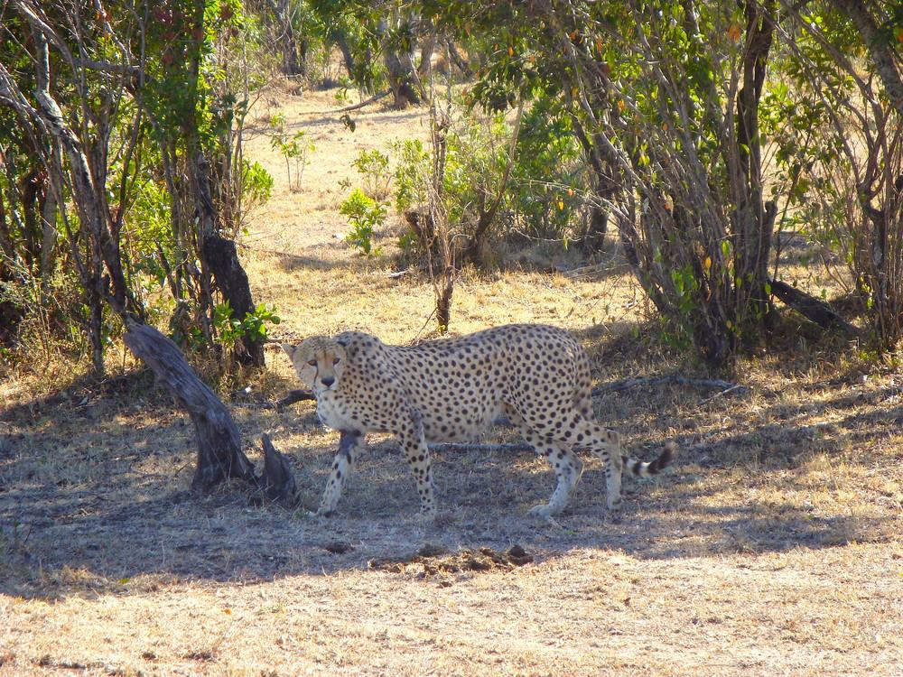 LeopardMasaiMara
