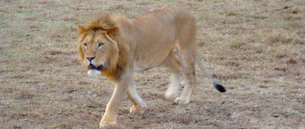 lionmasaimara