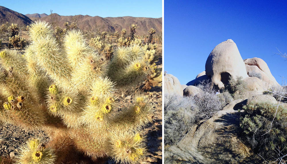 A cholla cactus and Skull Rock
