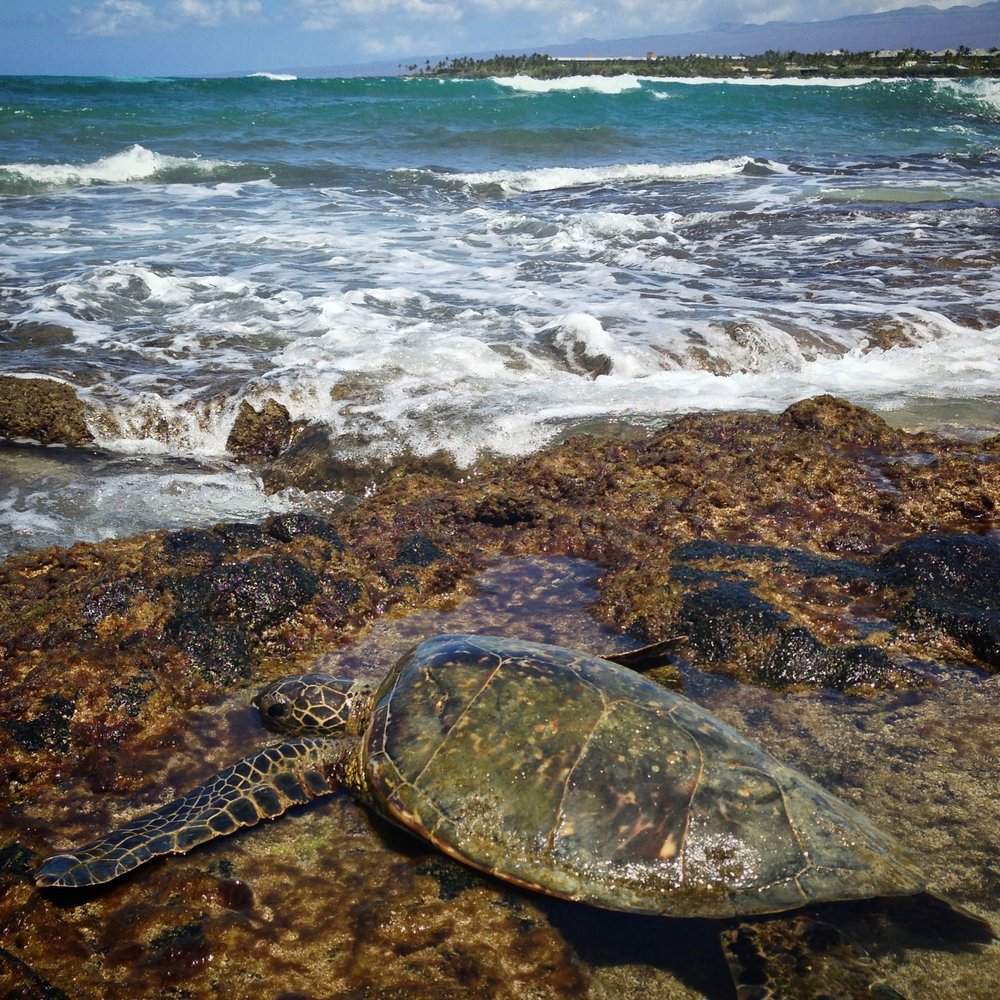 "Turtles in Anaeho'omalu Bay, otherwise known as ""A Bay"""