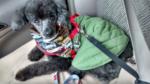 Duncan after his first grooming. Even the groomer was taken aback by the change.