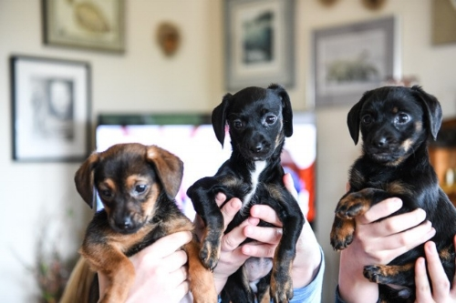 doxies-front.jpg