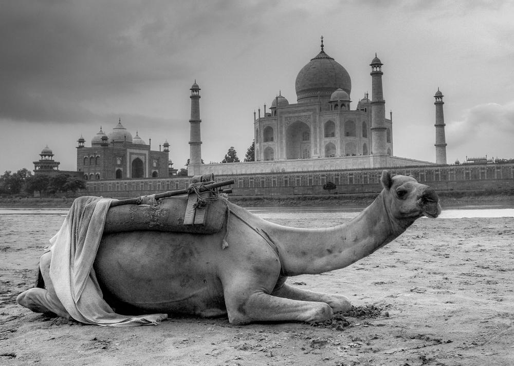 camel taj.jpg