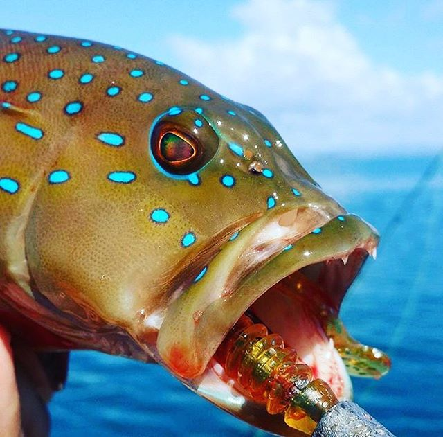 A nice Coral Trout taking a liking to the whiskey 🥃 coloured Twerk soft plastic! @trentholman_fishing #fishing #fishingaustralia