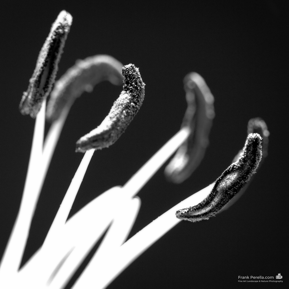 stamen in monochrome