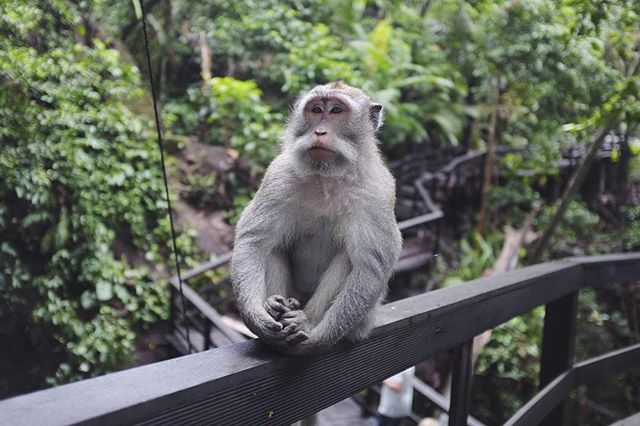 🙈🙉🙊 Monkey business at Monkey Forest, Ubud, Bali. 🇮🇩 #wanderlust #travel #travelgram #indonesia #bali #ubud #animals #monkey #asia