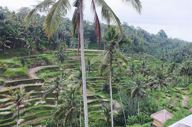 Rice terraces. Tegalalang, Bali. 🇮🇩 #travelgram #travel #bali #indonesia #wanderlust  #latergram #asia